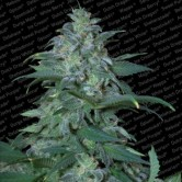 Magic Bud 5 reg