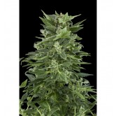 Royal Automatic 10 fem