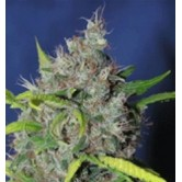 Blueberry Bud 5 fem