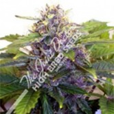 Purple Ryder Auto 10 reg