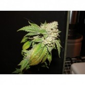 Larry OG Kush 10 Reg (The Cali Con
