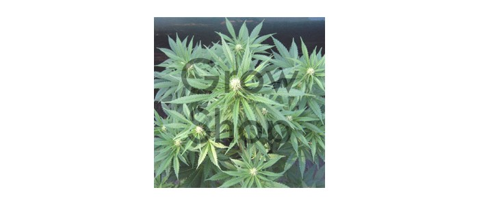High Quality Black Label Seeds R